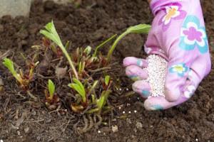 Чем обработать клубнику весной