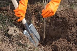 Как посадить саженцы плодовых культур