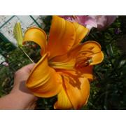 Луковица лилии Африкан Квин (Трубчатые )