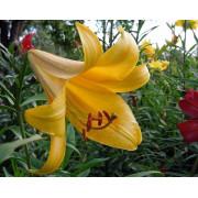 Луковица лилии Голден Сплендор (Трубчатые)