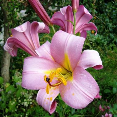 Луковица лилии Пинк Планет (Трубчатые)