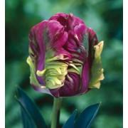 Тюльпан Раи