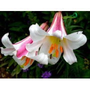 Луковица лилии Регале (Королевские, Трубчатые)