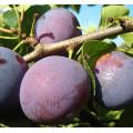 Плодовые деревья (13)