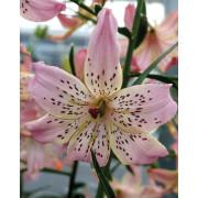 Луковица лилии Корсаж (Тигровая, редкие гибриды)