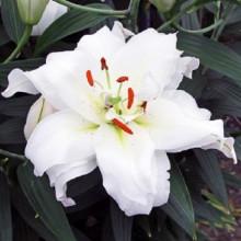 Луковица лилии Гуапа (Восточные махровые)