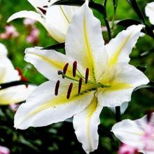 Луковица лилии Баферрари (Восточные гибриды)