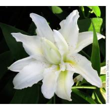 Луковица лилии Близзард (Восточные махровые)