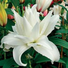 Луковица лилии Роузлилли Дежима (Восточные махровые)