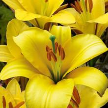 Луковица лилии Йеллоу Планет (Трубчатые)