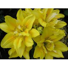 Луковица лилии Сандью (Азиатская махровая)