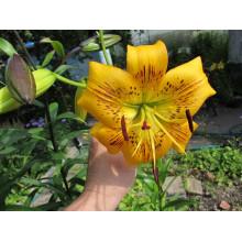 Луковица лилии Йеллоу Брюс (Тигровые)