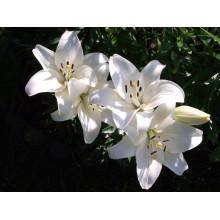 Луковица лилии Кент (ЛА-гибрид)