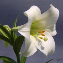 Луковица лилии Конкордия (Длинноцветковая)