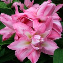 Луковица лилии Кьюриосити (Восточные махровые)