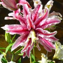 Луковица лилии Меджик Стар (Восточные махровые)
