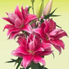 Луковица лилии Роузлили Талита (Восточные махровые гибриды)