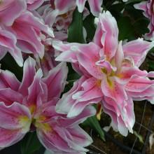 Луковица лилии Роузлили Наталия (Восточные махровые)