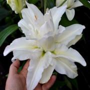 Луковица лилии Сноуборд (Восточные махровые)