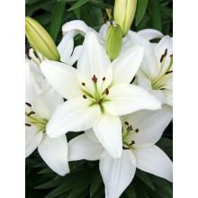 Луковица лилии Тайни Кристалл (Азиатская низкорослая)