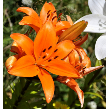 Луковица лилии Торелли (ЛА-гибрид)