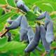 Жимолость плодовая