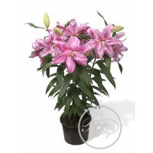 Луковица лилии Розелли Сара (Восточные Махровые)