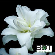 Луковица лилии Лотус Пьюр (Восточные Махровые)
