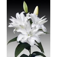 Луковица лилии Шардоне (Махровые Восточные)