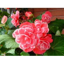 Клубневая бегония Пикоти Лейс розовая