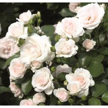 Роза Аспирин (флорибунда)