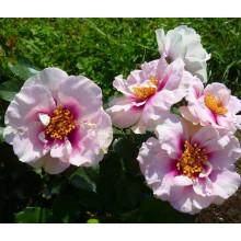Роза Ай Фо Ю (гибрид розы персидской)