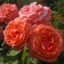 Роза Ди Ди Бриджуотер (плетистая)