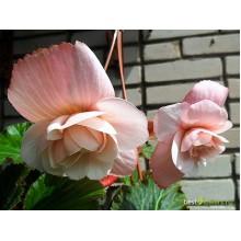 Бегония клубневая Сплендид розовая