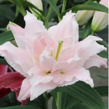 Луковица лилии Амистад (Восточные Махровые)