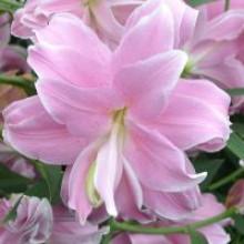 Луковица лилии Лотус Дрим (Восточные Махровые)