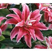 Луковица лилии Дистант Драм (Восточная махровая)