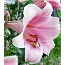 Луковица лилии Беллсонг (ЛО-гибрид)