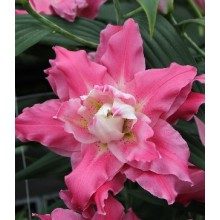 Луковица лилии Дримлайн (Восточные махровые)