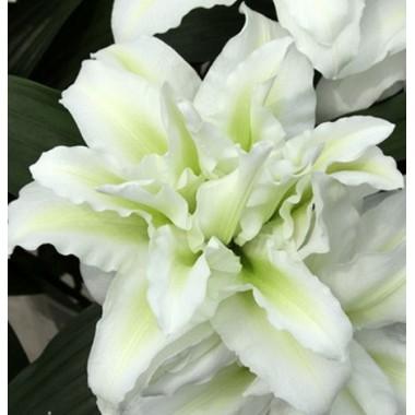 Луковица лилии Розелли Аиша (Восточная махровая)