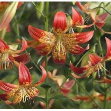 Луковица лилии Фьюжн (редкий гибрид)