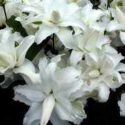 Луковица лилии Май Веддинг (Восточная махровая)