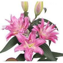 Луковица лилии Розелли Патрисия (Восточная махровая)