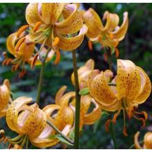 Луковица лилии Террас Сити (Мартагон)