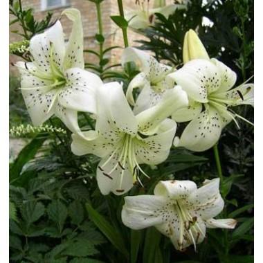 Луковица лилии Уайт Твинкл (Тигровые гибриды)