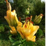 Луковица лилии Эприкот Фадж (Азиатский гибрид)