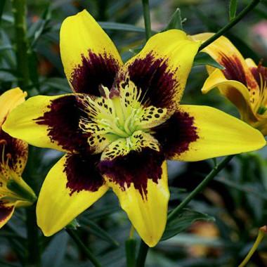 Луковица лилии Изи Данс (Азиатский гибрид)