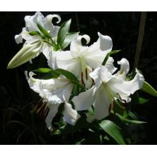 Луковица лилии Астериан (Восточная)