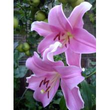 Луковица лилии Дольчетто (Лонгифлорум)