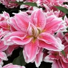 Луковица лилии Сальво  (Восточные махровые)